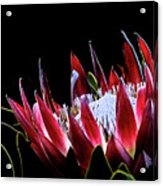 Protea 1 Acrylic Print