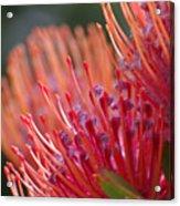Protea 5 Acrylic Print