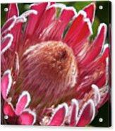 Protea Bloom Acrylic Print