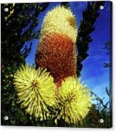 Protea Flower 5 Acrylic Print