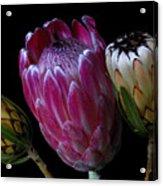 Proteas Acrylic Print