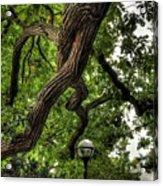 Protective Oak Acrylic Print