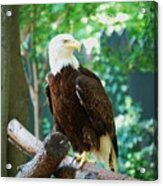 Proud Eagle Acrylic Print