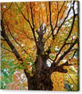 Proud Maine Tree In The Fall Acrylic Print