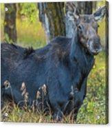 Proud Mama Moose Acrylic Print