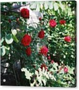 Provence Red Roses Acrylic Print