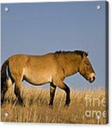 Przewalskis Stallion Acrylic Print