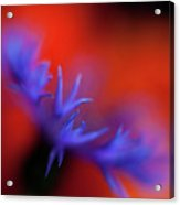 Psychedelic Cornflower Acrylic Print