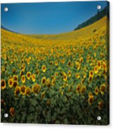 Psychodelic Sunflowers Acrylic Print