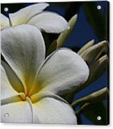 Pua Lena Pua Lei Aloha Tropical Plumeria Maui Hawaii Acrylic Print