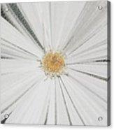 Puckered Daisy Acrylic Print