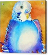 Pudgy Budgie Acrylic Print