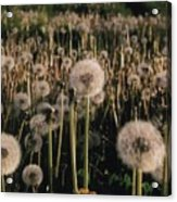 Puff Balls Before The Wind Acrylic Print