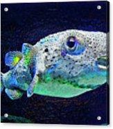 Puffer Fish Acrylic Print