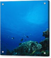 Pufferfish On Coral Reef Acrylic Print by James Forte