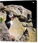 Puffin And Rocks Acrylic Print