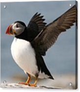 Puffin Impersonating An Eagle Acrylic Print