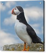 Puffin In The Clouds Acrylic Print