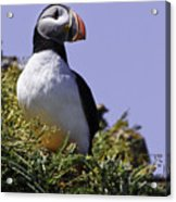 Puffin On The Rock Acrylic Print