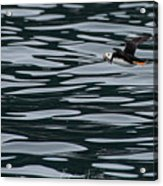 Puffin With Dinner Acrylic Print