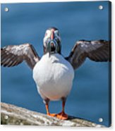 Puffin With Fish For Tea Acrylic Print