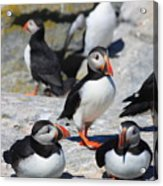 Puffins At Rest Acrylic Print