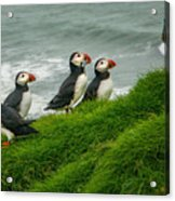 Puffins Returning From Fishing Acrylic Print