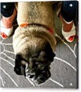 Pug Between Woman's Leg Acrylic Print