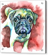 Pug In Red Acrylic Print