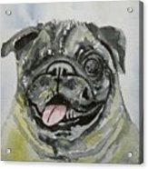 One Eyed Pug Portrait Acrylic Print