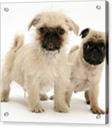 Pugzu And Pug Puppies Acrylic Print