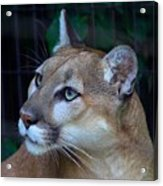Puma-2 Acrylic Print