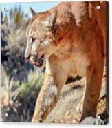Puma Mountain Lion Nature Wear Acrylic Print