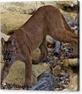 Puma Stalking Acrylic Print