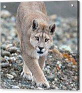 Puma Walk Acrylic Print