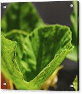 Pumpkin Leaf 2 Acrylic Print