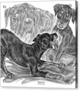 Puppy Love - Doberman Pinscher Pup Acrylic Print