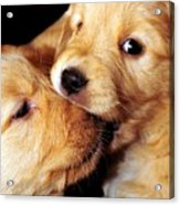 Puppy Love Acrylic Print by Laura Mountainspring