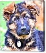 Puppy Oskar 2 Acrylic Print