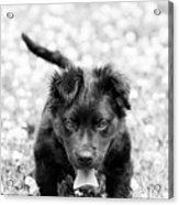 Puppy Play Acrylic Print