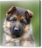 Puppy Portrait Acrylic Print
