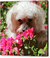 Puppy With Roses Acrylic Print