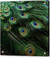 Pure Peacock Acrylic Print