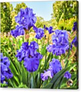 Pure Sapphire Iris Acrylic Print