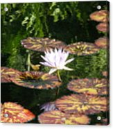 Pure Water Lily Acrylic Print
