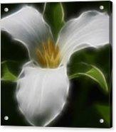 Pure White Trillium Acrylic Print