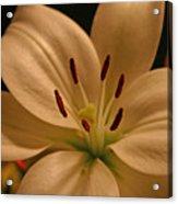 Purity In Full Bloom Acrylic Print