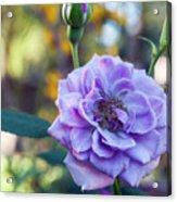 Purple Rose Glow Acrylic Print