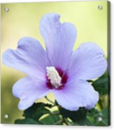 Purple Althea Acrylic Print by Kenneth Albin