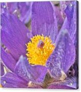 Purple And Gold - Bright Acrylic Print
